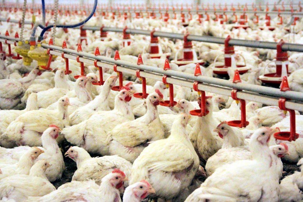 Tavuk Çiftliği Kurmanın Maliyeti Nedir